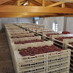 Moscato Rosa viinamarjad kuivamas