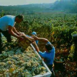 fontana_candida-workers-gathering-grapes