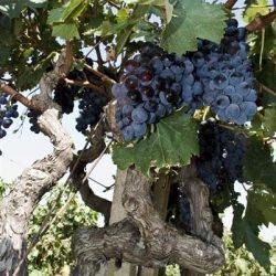 Vanad Primitivo viinapuud