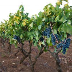Primitivo viinapuud